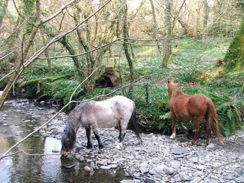ponies in woodland