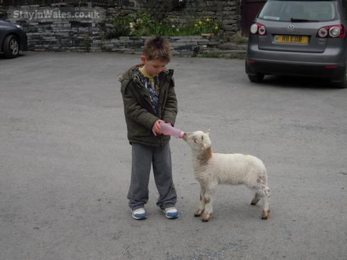 feed the lambs
