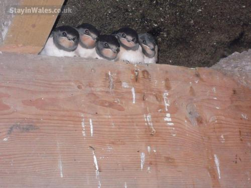 our little swallow family