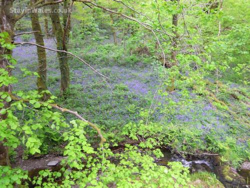 quiet valley with a carpet of bluebells