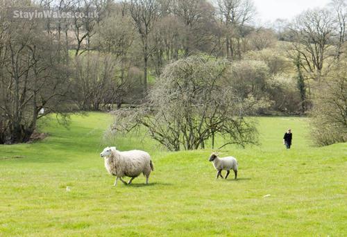 holly farm sheep