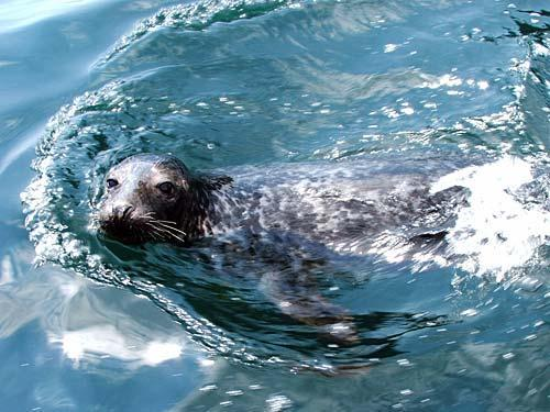 cardigan bay seal