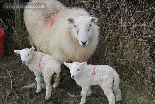 lambing time in mid wales