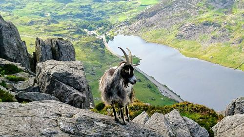 Welsh Mountain Goat high on Tryfan