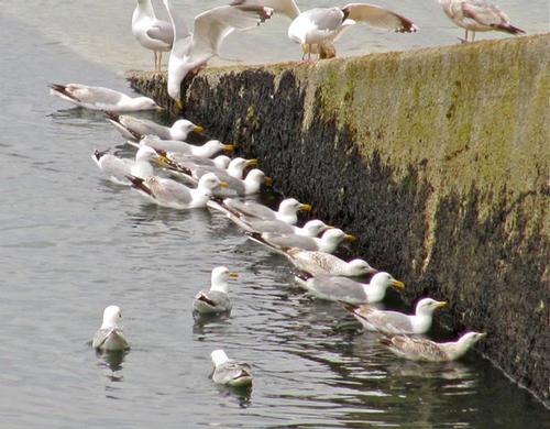 Gulls feeding at Moelfre slipway