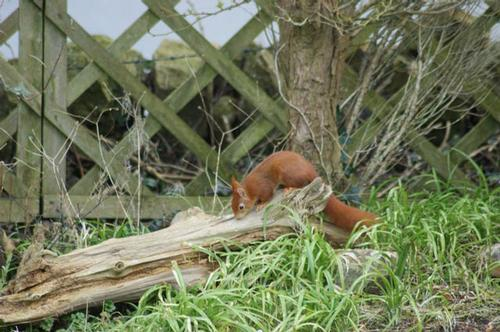 Big male Red Squirrel next to Studio