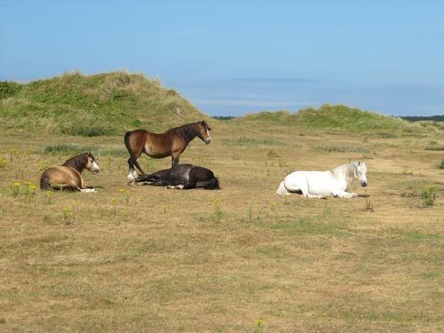 Ponies on Newborough Common