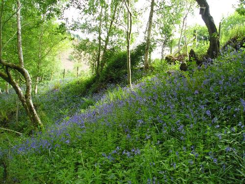 Bluebells on the woodland