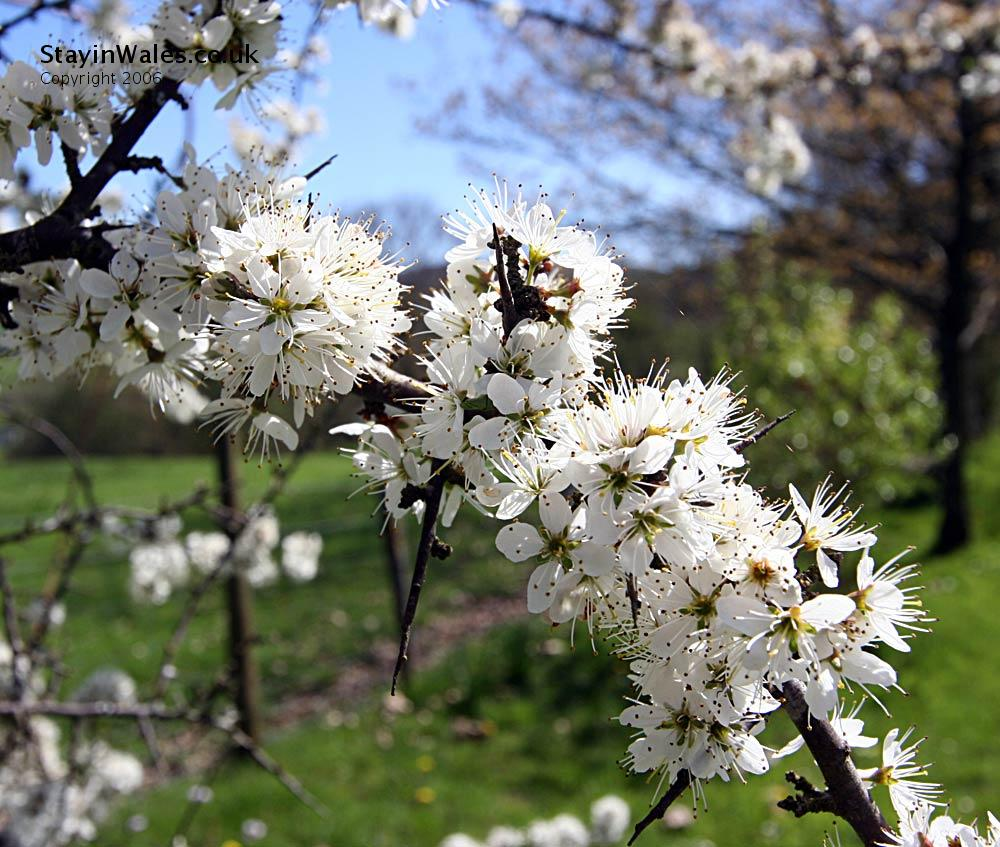 Hawthron Blossom