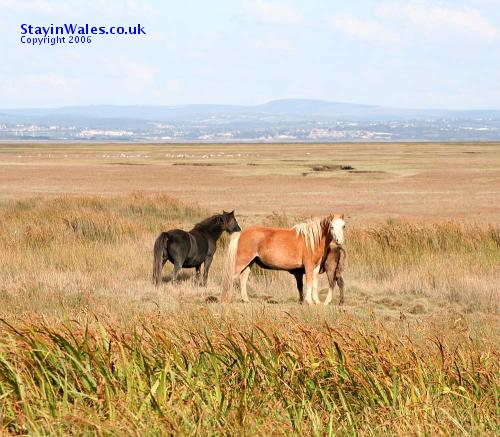 Wild ponies on the Gower