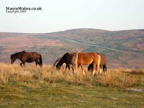 Welsh ponies in the Brecon Beacons
