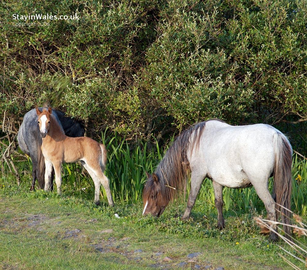 Wild ponies Whiteford