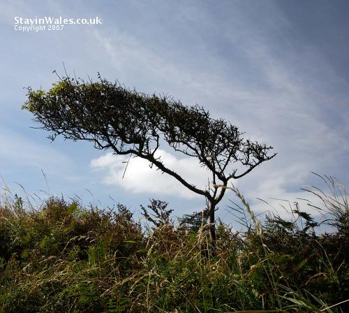 Leaning bush Pembrokeshire