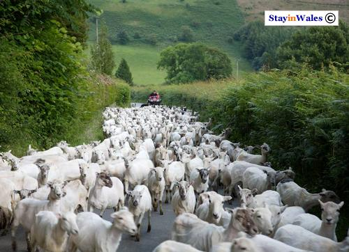 Driving sheep along a lane near Abergwesyn