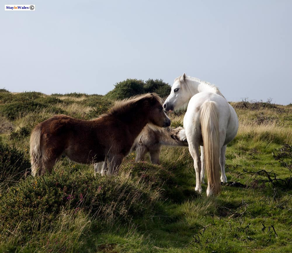 Ponies on Llanmadoc Hill, Gower