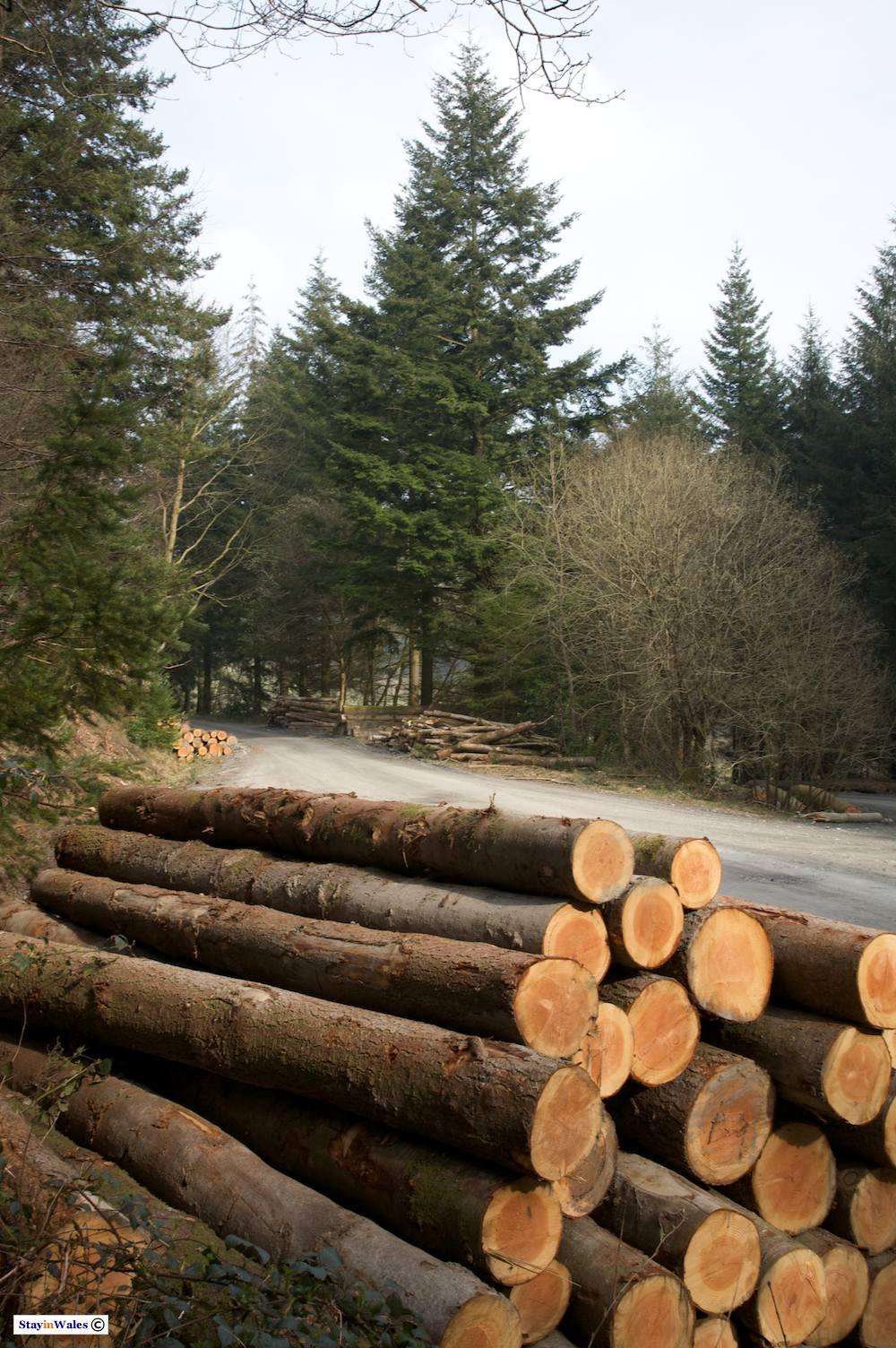Harvested pine, Hafod Estate