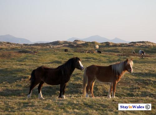 Wild ponies at Newborough Warren, Anglesey