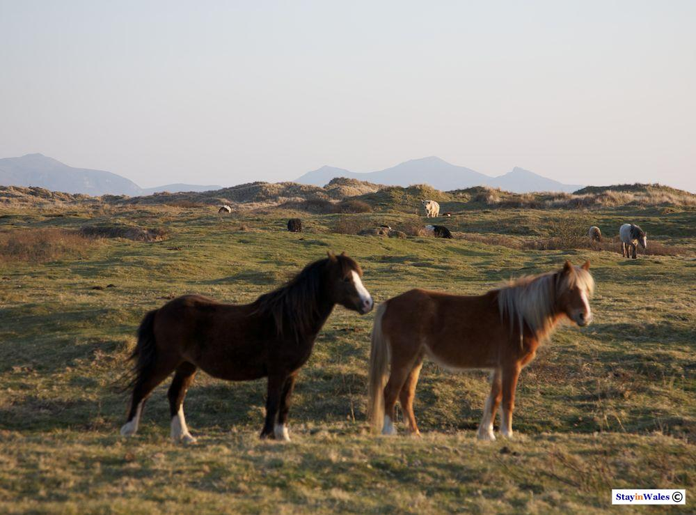 Wild ponies at Newborough Warren, Anglesey