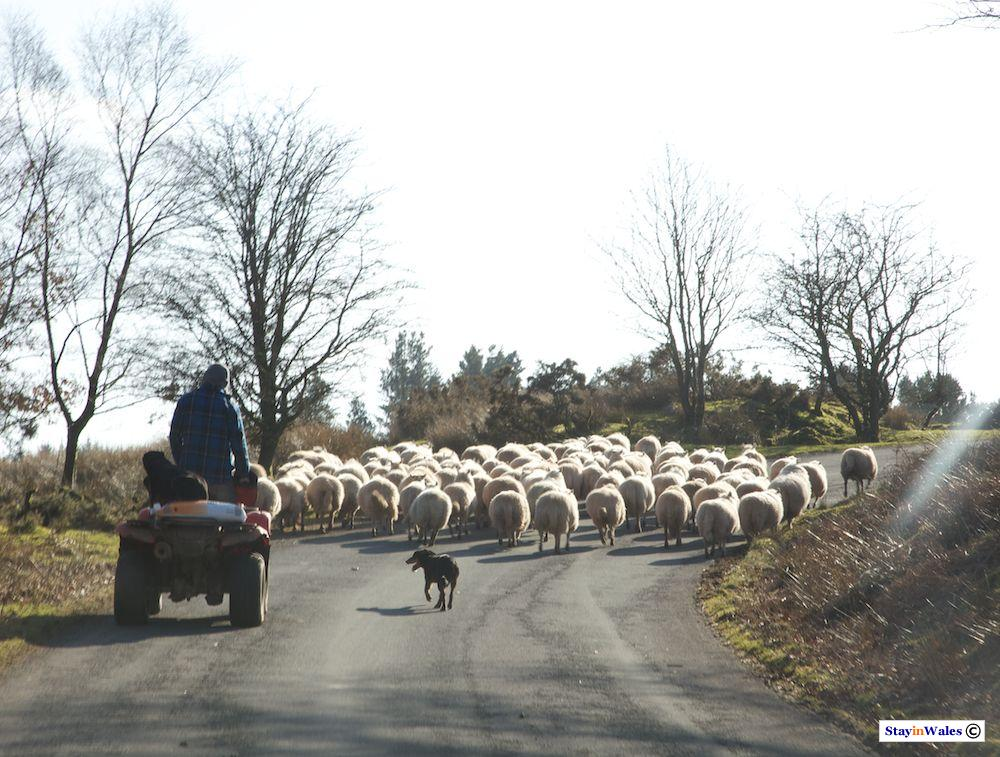 Herding sheep near Ystradfellte